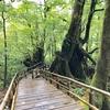 屋久島 標高1000m「ヤクスギランド」アクセスと散策コース、ヤクサルとの出会いは不思議な穏やかな時間