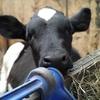 子牛について。