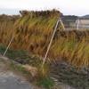 ひとつ目の不耕起田んぼの稲刈りの続きです。まだ半分も終わらない…