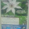 WANTED 相模原市の'カザグルマ'情報をお寄せください!!日本在来の希少種'カザグルマ'の保全活動をすすめています。里地・里山の環境にひっそりと自生し、5月〜6月に開花します。