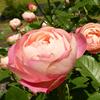 243種1300株のバラを楽しめます!@錦江湾公園(鹿児島市平川町)