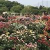 バラの種類、歴史、選び方、有機栽培での育て方がわかる(目次)
