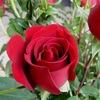 チェコもスロバキアも国花はバラ.チェコスロバキアが成立する以前には別々の道を歩んできた両国民. ビロード革命から程なく独立していくのはやむを得なかったのだろうと想像しますが,国花はともにバラ.独立後もつながりが切れてはいないことの象徴の一つかもしれません.ただ,なぜバラが両国の国花になったかについて余りよく分かっていないようです.赤バラが象徴する愛と美がそれぞれの国の性格と一致するとされていますが.付録 チェスキー・クルムロフの5弁の薔薇祭り