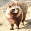 タヌキの特徴:web動物図鑑