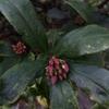 庭の沈丁花さん、庭の沈丁花さん
