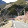 松田町 寄の河津桜