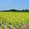 タバコの葉が黄色く色づき収穫です