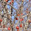 柿の木とツグミ