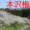本沢梅園 3月1日~15日に一般開放!