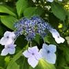 紫陽花の花を発見💠💠🌼