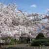 桜満開(小樽市手宮公園)