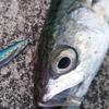 台風接近直前のライトゲーム釣行!ジグパラマイクロ·ライブベイトカラーで小型回遊魚と戯れ!