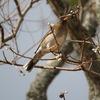 神戸森林植物園で野鳥撮影。シロハラ、モズ、メジロ、ヒヨドリ。福寿草、バイカオウレン。
