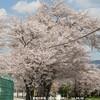 愛知少年院の桜