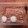 オオクワガタの産卵セットを作り、メスを入れました♪
