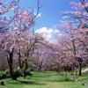 [名桜探訪]★旭山公園(名桜探訪30)最終回