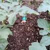 真ん中のスイカの代わりに埋めてみたもの。クイヒーラバルの練習。
