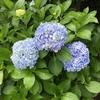 5-85   2020年の紫陽花は開花が早い!?