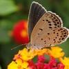 ランタナの蝶 2014 7月