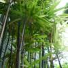 植物と私: 思い出したよ。黒竹
