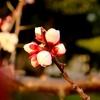 今年も梅をカメラで撮ってきた