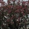 トックリキワタが咲いています