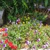 ビオラのその後と、新しいお花