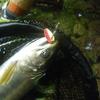 先週末の渓流釣り