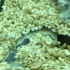 ミドリフグ水槽に入れられるコケとり救世主、○○貝!