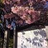 【検証】河津桜は電車で行くべきか車かで行くべきか