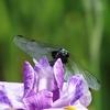 前回の記事「花菖蒲と睡蓮(すいれん)まつり」に載せなかった昆虫と花の写真です。