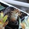 アガベ・パキポの種まき〜8か月〜とコノフィツム脱皮中
