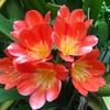 クンシランの赤い花