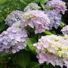 紫陽花、雨の準備万端。
