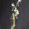 Habenaria hybrid 'Unreported'(seeds)