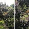 フジ2 藤棚もすばらしいけれど,自然の中に見る藤は,別格.鎌倉源氏山公園へ向かう途中の小さな崖の上にも藤の花が.オレンジ色のツツジ,木々の新緑,そして藤の紫.なかなか見事な景観でした.