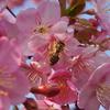 金沢でも河津桜が咲いてました(後編)