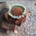 白詰草の花冠