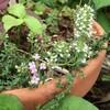 タイムの花 2種。キャラウェイタイムとコモンタイム