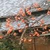 渋柿を食する鳥たち