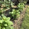 エダマメの開花とミニトマトの挿し木のゆくえ