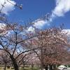 サクラが咲いた!