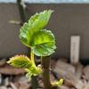 バラの芽吹き🌱秋の挿木苗を鉢上げ