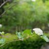 キンバコデマリという植物の写真をK-3とLightroom6で