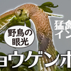 0910【チョウゲンボウが小鳥を捕食失敗】カラスがカラスを襲う。エンジェル・ウイングのカルガモ。野鳥にパンをあげないで【今日撮り野鳥動画まとめ】身近な生き物語