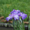 卯辰山で花菖蒲の写真撮りました(前編)