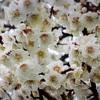 雨上がり…梅の花に気づく