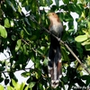 ベリーズの自宅敷地の Squirrel Cuckoo (スキレル カックー)