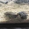 肉食の巻貝、おそるべし