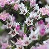 今日の誕生花「スターチス」地中海沿岸原産の造花のような珍しい花!